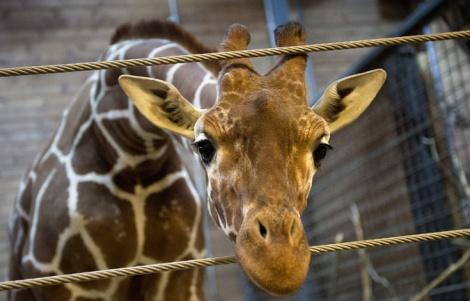 Giraffe RIP Marius_reuters_keldnavntoft_scanpixDenmark